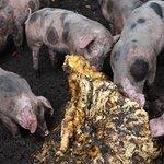 varkens in de modderpoel