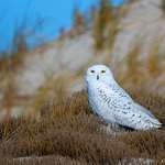A snowy owl (photo credit: Peter Christoph)
