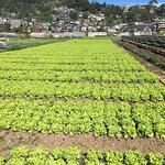 Strawberry Farm Foto
