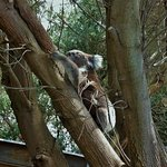 Koala escaping up a tree outside the Information Centre