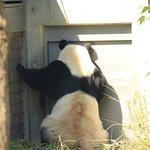 食事前のソワソワしているパンダ