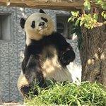 棚の上の竹に手を伸ばすために立ち上がったパンダ