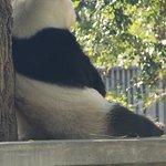 食後の休憩中のパンダ