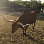 The Longhorn Cattle Company Foto