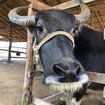 Foto de Laos Buffalo Dairy