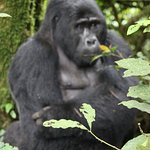 Gorillas  Uganda Africa with Enchanted Uganda Safaris