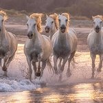 """Camargue. These semi-wild light gray, almost white horses live only in the south of France in the Rhone delta. Sometimes they are called """"sea horses"""". Camargues live both at the reserve, and in housholds. These animals are unusually very strong and beautiful!"""