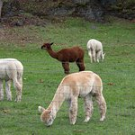 Foto Krystal Acres Alpaca Farm and Country Store