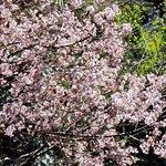 Beautiful bloom at Pangot village