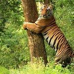 Tiger Safari au parc national de Kanha