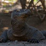 Komodo dragon at Rinca island