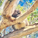 Foto van Phillip Island Nature Parks - Koala Conservation Centre