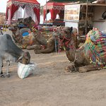 Decorated camels (and the cow eating their food)