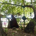 Photo of Hippocrates Tree