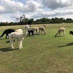 Butlers Farm Alpacas Photo