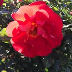 Bilde fra Municipal Rose Garden