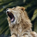 African male lion. Is is a roar or just a yawn?