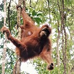 One of orangotan in Gunung Leuser.