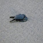 BABY TURTLES ON THE BEACH AT THE HOTEL