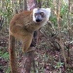 The most beautiful and sweet lemur I met: crown lemur!