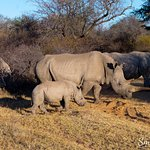 Group of Rhinos with baby