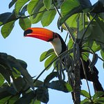 boating: Tocu Toucan up high in a tree, sunlight lights up its beak!