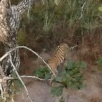 Tiger__Spotted in Ranthambore National Park_Zone 5_30 Nov 2018