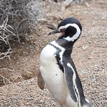 Pinguins de magalhães