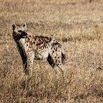 Masai Mara Hyenne