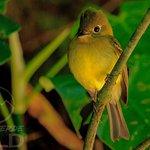 Mosquerito amarillento || Yellowish flycatcher || Empidonax flavescens