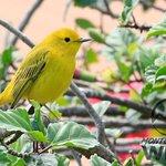 Reinita amarilla || Yellow warbler || Setophaga petechia