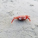 Red Crab on Henry's island beach