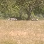 Rhinos out in the field