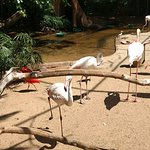 Um encanto os flamingos, muitos mesmo, dando sua graça ao Parque das Aves.