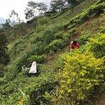 Так собирают чай и в зависимости от разновидности чая, разная методика сбора