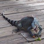 Feeding Iguana in the pavilion at Kokmo Beach