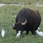 Cattle egrets (Bubulcus ibis) and a buffalo at Pusztaszer Nature Protection Area