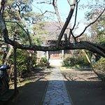 参道を遮る桜の木