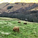 Hairy Coos :)