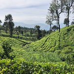 Tea fields at your feet