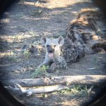 Hyena pup on our first day in Kruger