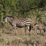 Zebras just started migrating when we were there.  Groups were several hundred.