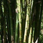 Bamboo forest on the road to Hana !
