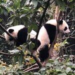 Giant Panda Breeding Research Base (Xiongmao Jidi) Foto