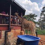 Giraffe Centre-bild