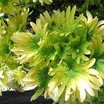 Coleus - Plants/Flowers at Secret Garden