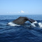 Sperm Whales trinco