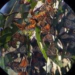 Φωτογραφία: Monarch Butterfly Grove