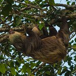 2-toed Sloth with young