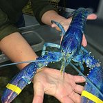 A visitor holding a rare blue lobster.